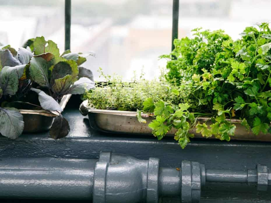 Picture of salad grown on school window sill.