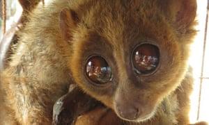 Buddy slow loris monkey