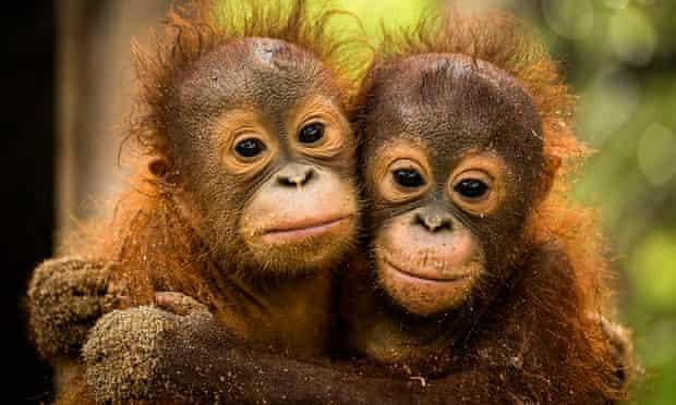 orphaned orangutans in Borneo