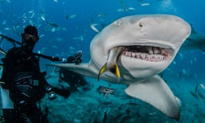 A lemon shark feeding on fish, on August 02, 2014 in Jupiter, Florida.   A LEMON SHARK bears its razor sharp teeth just moments before devouring fish bait. Wildlife photographer John Chapa, 41, has taken jaw-dropping images while swimming just inches away from sharks. For a fee of $100, John dives with brave tourists and captures the up close and personal experiences they have while feeding sharks.  John, from Miami, Florida, snaps photos within the mere seconds the sharks open their massive jaws and chomp down on the bait in front of them.