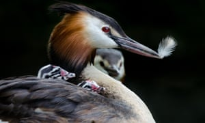 Great Crested Grebe holding feather with young under wing
