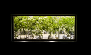 """Marijuana plants mature in hydroponic cultivations systems at the 3D Cannabis Center, the site of Colorado's first legal recreational marijuana sale. Colorado is one of two U.S. states to legalise recreational pot sales, launching a """"green rush"""" of marijuana industry expansion."""