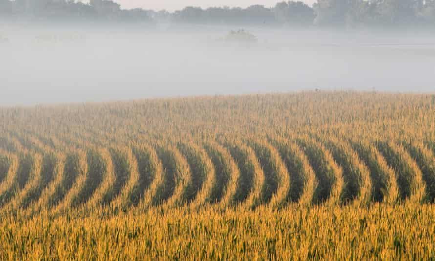 A corn field disappears under a shroud of mist at sunrise in rural Springfield, Nebraska