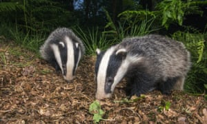 Badger cubs foraging in oak. The Badger Trust is challenging the government's badger cull policy