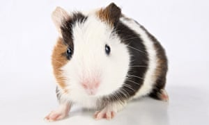 guinea pig. Image shot 06/2012. Exact date unknown.