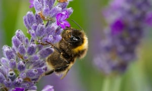 Live Better: Bee on Lavender