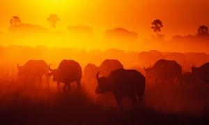 Sunset silhouette of buffalo herd in dust Duba Plains Okavango Delta Botswana
