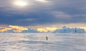 An emperor penguin in Antarctica.