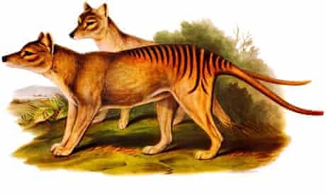 Illustration of two of the now extinct australian carnivorous marsupial mammals The Tasmanian Tigers