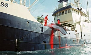 A whale hoisted on to a Norwegian whaling ship