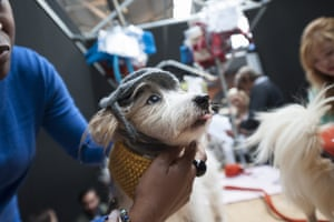 A small dog waits patiently as it is groomed ready for the Paw Pageant.