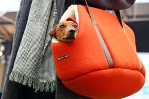 A small dog is held in the bag by its owner during the paw pageant.