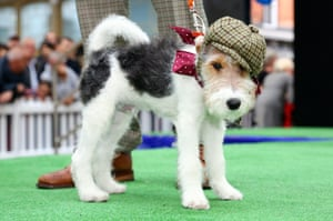 A terrier dandy shows of during the best dressed dogs competition.