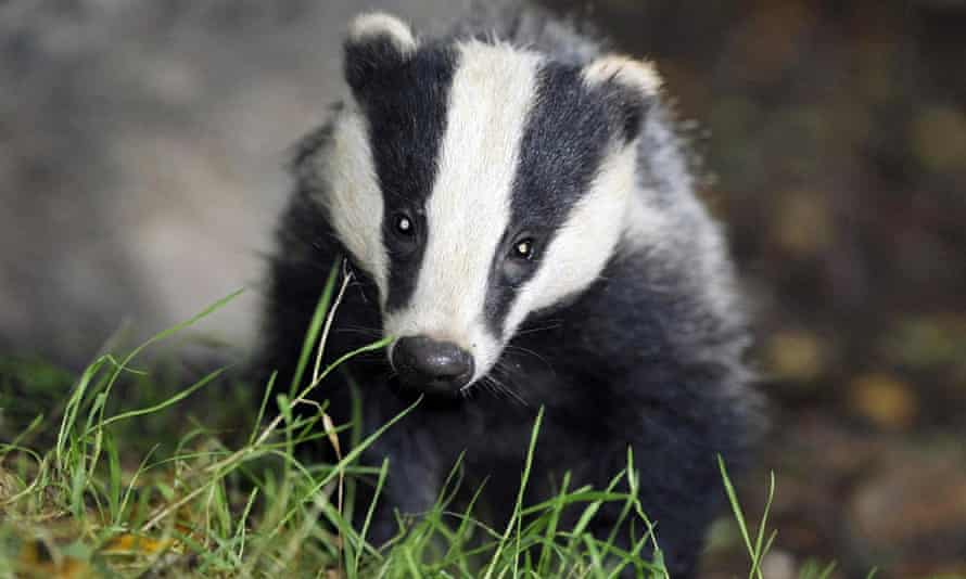 A badger in Somerset.