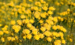 Goldilocks aster with its heads of yolk-yellow flowers.