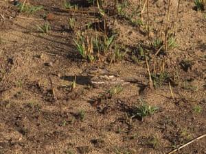 Mozambique nightjar on nest.
