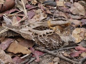 Fiery-necked nightjar (Caprimulgus pectoralis).
