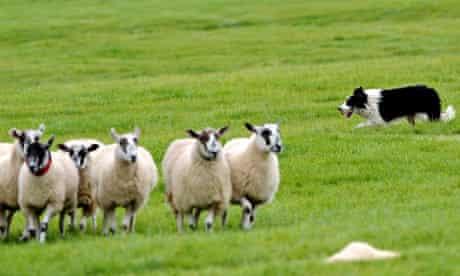 Sheepdog herds his flock