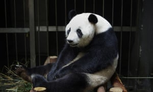 Giant panda Ai Hin