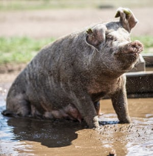 pig wallowing in mud Dingley Dell farm Suffolk