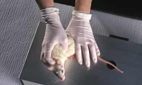 lab rat animal drug testing