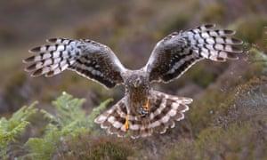 hen harrier (Circus cyaneus), adult female landing with a prey, United Kingdom, Scotland, Sutherland