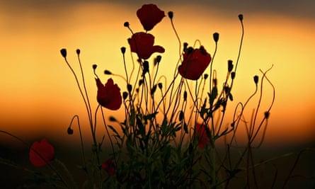 Poppies grow in a field in Passchendaele, Belgium, as dawn breaks on the first world war centenary