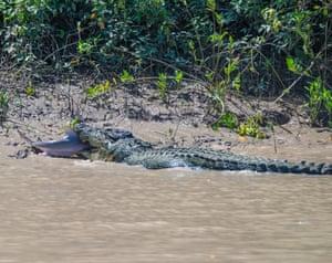 Crocodile shark battle