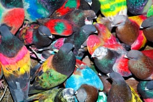 Painted pigeons featured in Paloma Al Aire by Richard Cases