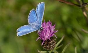 An Adonis Blue butterfly (Polyommatus bellargus) feeding on knapweed