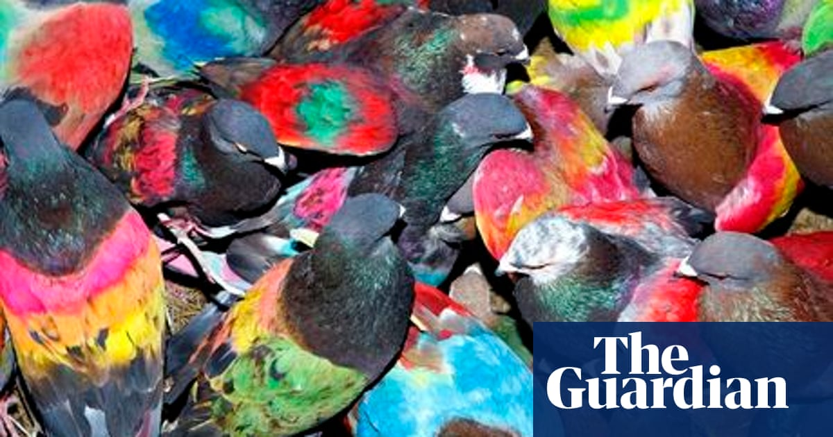 Flying high with Spain's neon-painted racing pigeons   Art