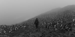 After spending the winter at sea the Macaroni penguins return in October and November. The biggest colony on the island, Big Mac, contains 80,000 individuals. With that many it often feels like they're stretching as far as the eye can see. On this misty day that was true, 7 November 2013.
