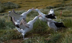 Young, unpaired wandering albatross courting by spreading their wings and tapping bills together, Top Meadows, 13 April 2014.