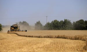 Harvesting winter wheat in Kent.