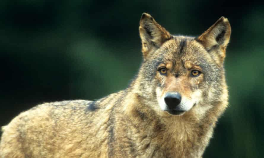 It's estimated there are now around 10,000 wolves in Europe.