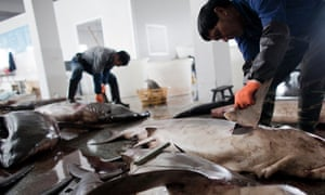 Fins are removed as sharks are processed in Puqi town, Yueqing city of Zhejiang Province, China.