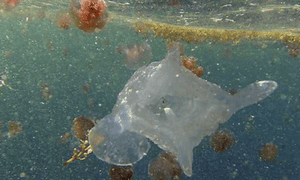 An example of the Keesingia gigas jellyfish