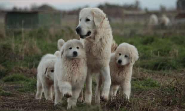 Group of Maremma dogs