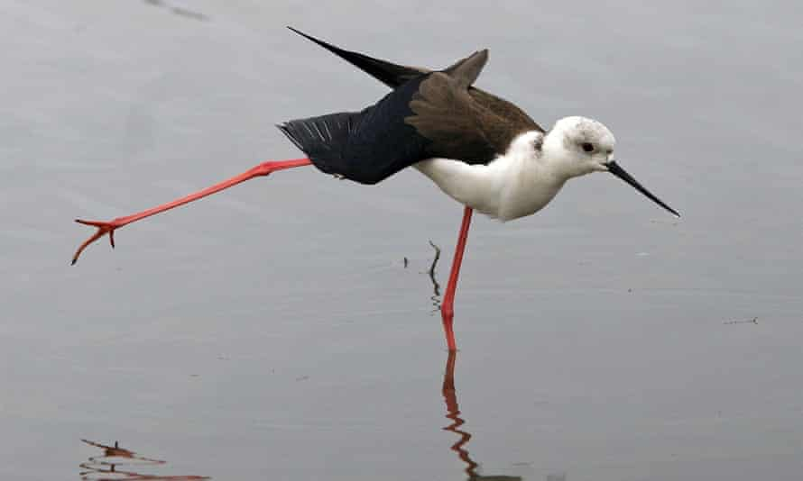 A black-winged stilt, usually found in the Med, now in Sussex, Kent and Suffolk.