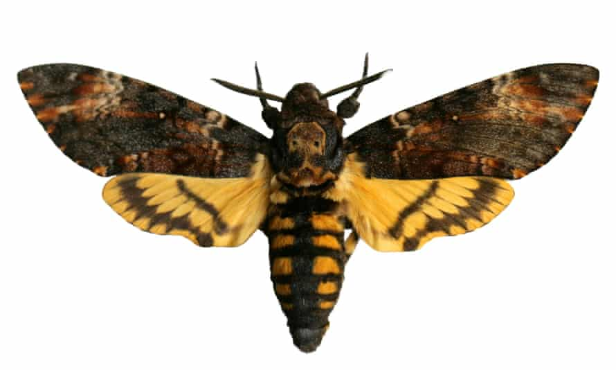 Will the death's-head hawkmoth be next to arrive in Britain?