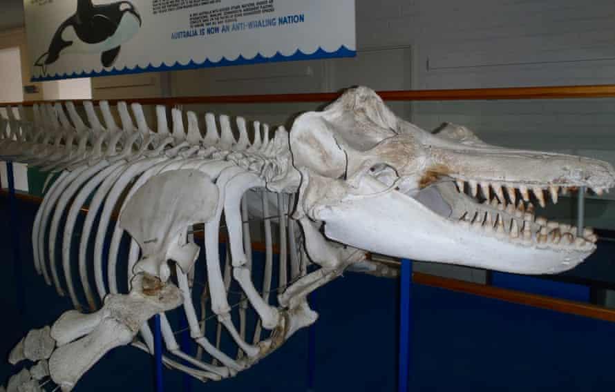Old Tom killer whale skeleton, Eden