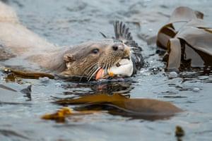 "Animal Behaviour winner Richard Shucksmith ""Otter and Puffin"", Shetland Isles, Scotland"