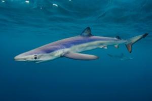 "Coast and Marine winner Alexander Mustard,""Big Blues"" Blue Sharks, Cornwall, England"