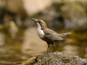Under 12 Young People category, a dipper with grubs taken in Dumfries by William Bowcutt