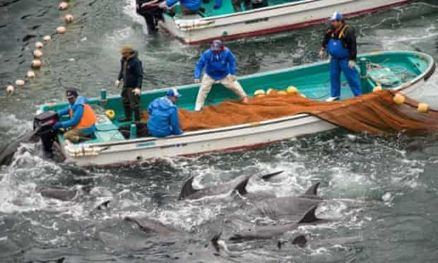 The selection process of dolphins, during the annual dolphin hunt in Taiji, Japan, 20 January 2014.