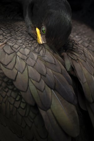 Animals Portraits category, a shag resting taken in Northumberland by Steven Fairbrother.