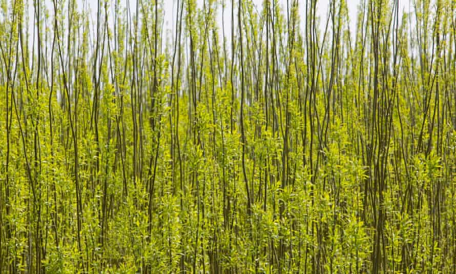 Field of willow