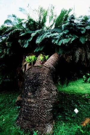 A cycad in Zanzibar