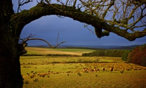Red deer grazing at Jedforest Deer Farm in the Scottish Borders.