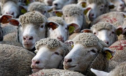 Sheep Marseille streets